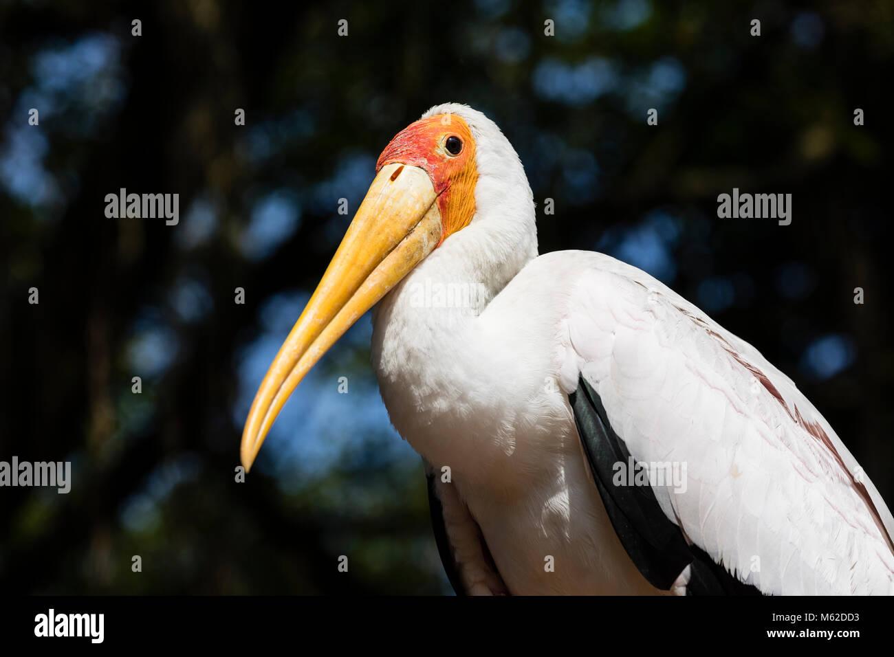 Yellow-billed Stork (Mycteria ibis) with closed beak - Stock Image