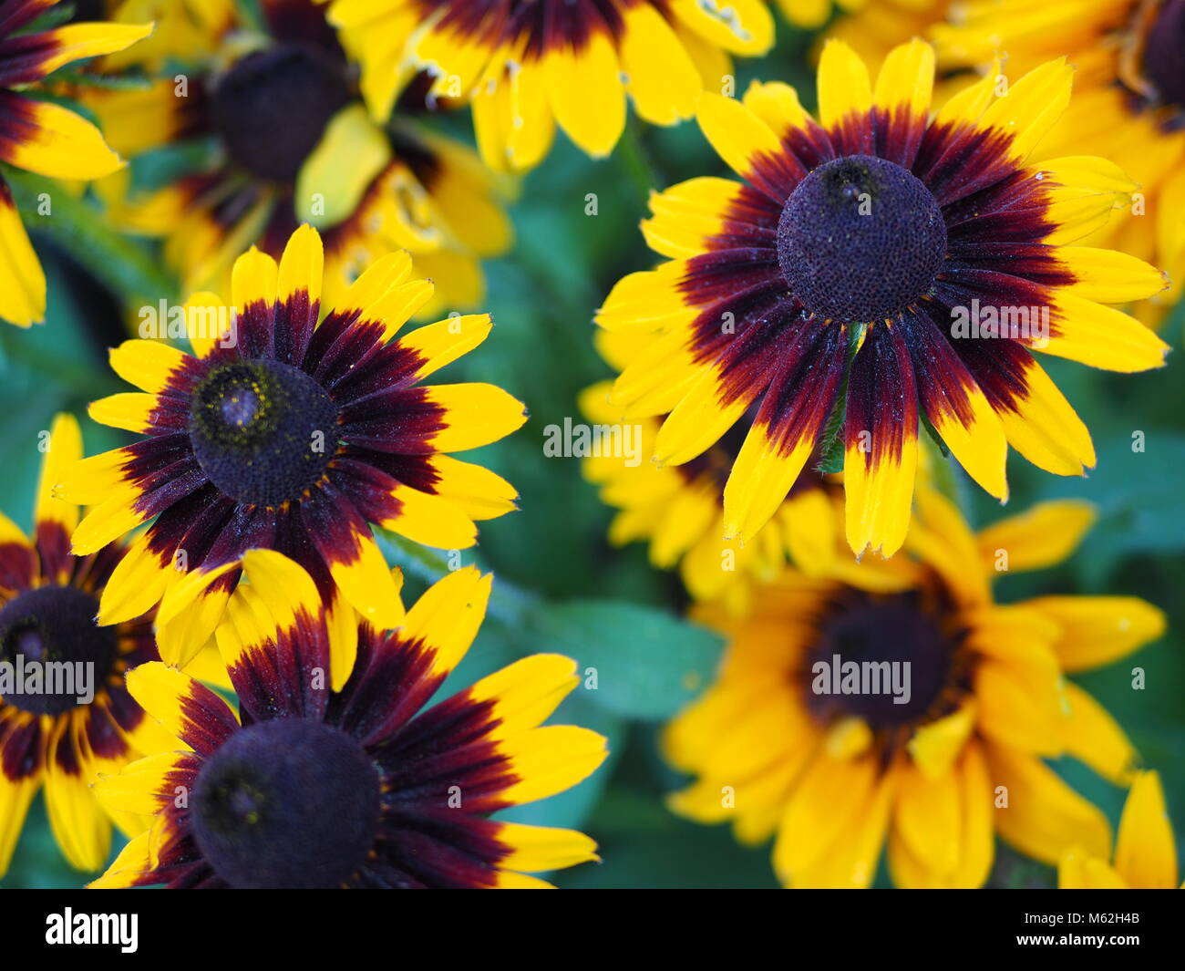Flowers with yellow and black centre stock photos flowers with yellow and black flowers stock image mightylinksfo