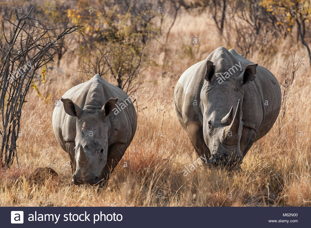 white rhinoceros or square-lipped rhinoceros, Ceratotherium simum in South Africa, Pilanesberg Nationalpark, protected - Stock Image