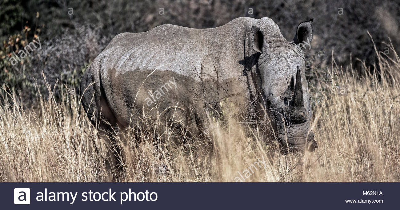 white rhinoceros or square-lipped rhinoceros, Ceratotherium simum in South Africa, Pilanesberg Nationalpark, protected - Stock Image