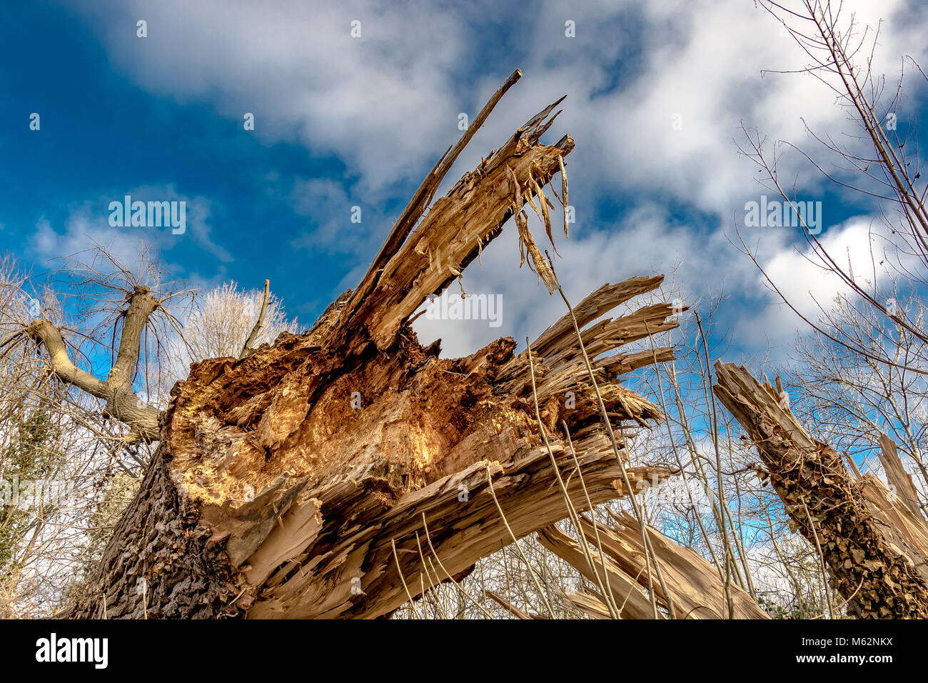 Close up of a decaying ,fallen Ash tree , showing the jagged, broken shards of wood - Stock Image
