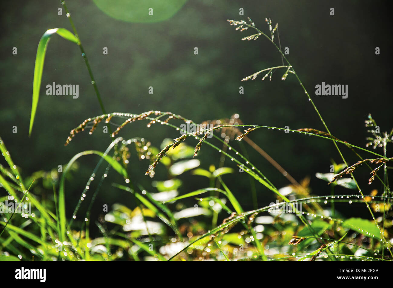 Close-up of grass in the morning sunshine in a park at Saint-Gervais-Les-Bains/Le Fayet, a famous French ski resort Stock Photo