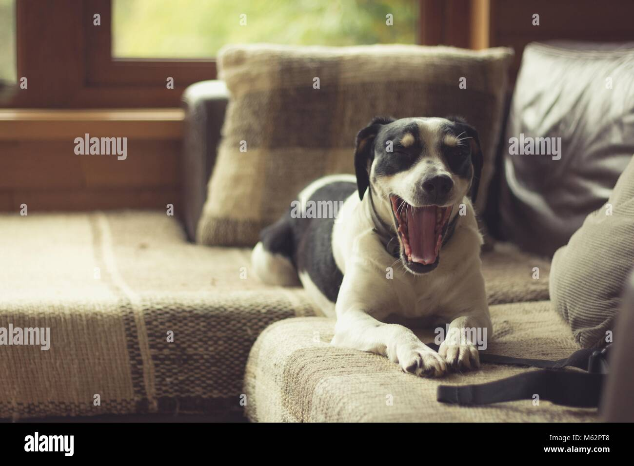 Black and white dog yawning while resting on couch by window in living room. Vintage effect. Sleepy dog taking nap - Stock Image