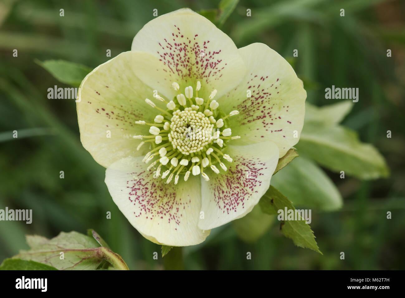 White Christmas Rose Stock Photos White Christmas Rose Stock