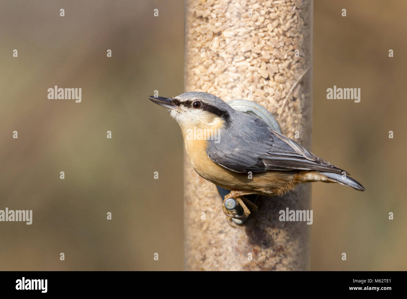 Nuthatch (Sitta europaea) visiting feeding station at bird hide in Warnham wildlife reserve Horsham UK. Winter Febuary - Stock Image