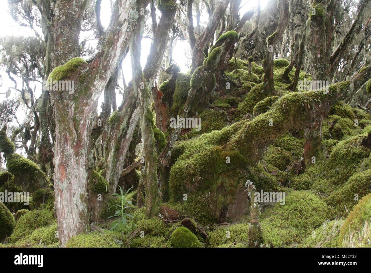 Rwenzori Moss - Stock Image