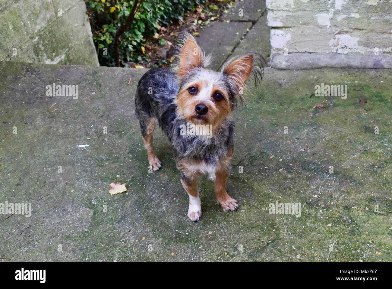 Chihuahua Terrier Mixed Breed Stock Photos & Chihuahua Terrier Mixed ...