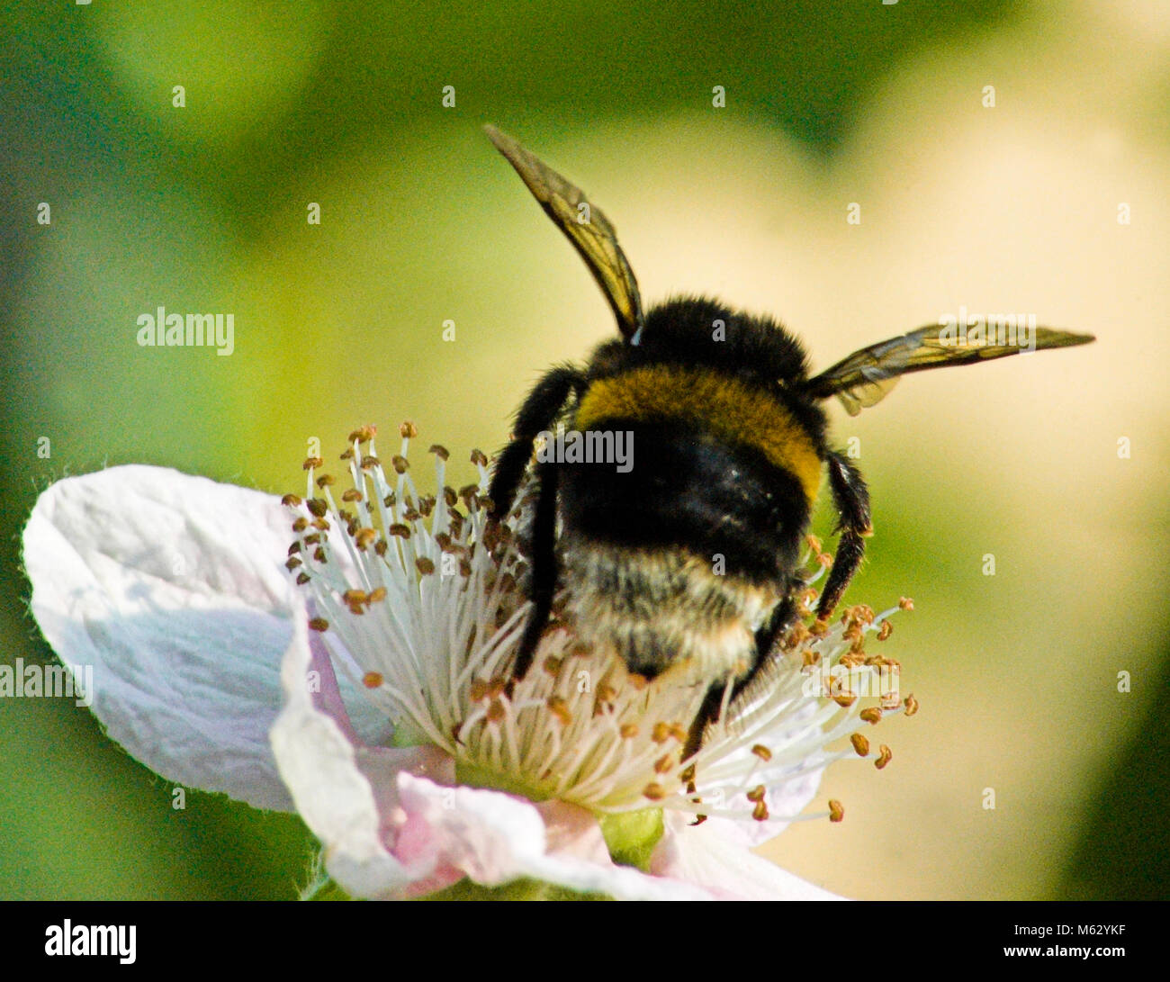 Bumble Bee on a flower - Stock Image