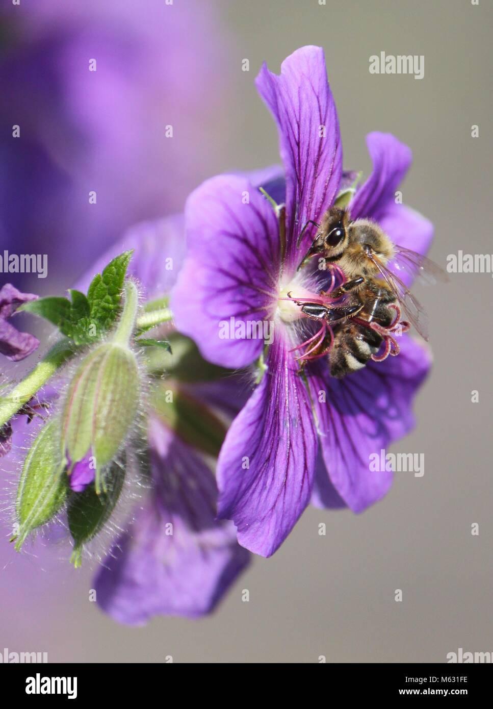 biene an lila blume - Stock Image