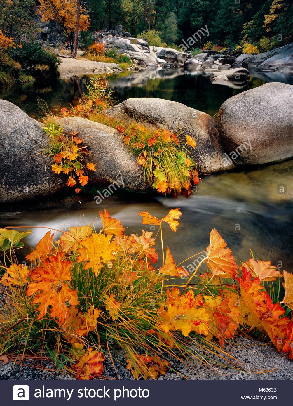 Indian Rhubarb, Merced River, Yosemite National Park, California - Stock Image
