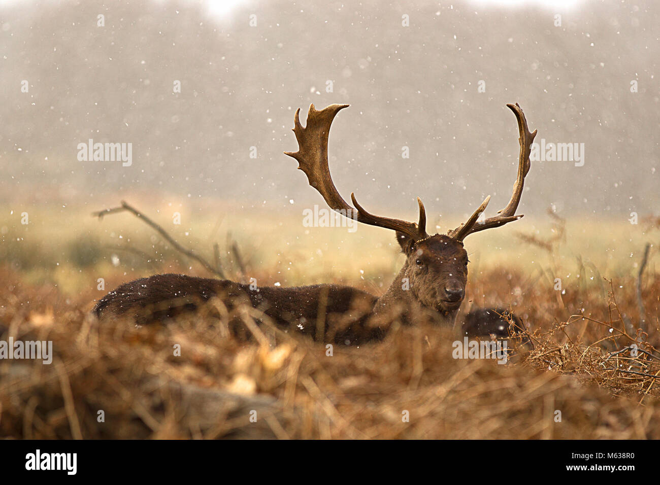 fallow deer in winter - Stock Image