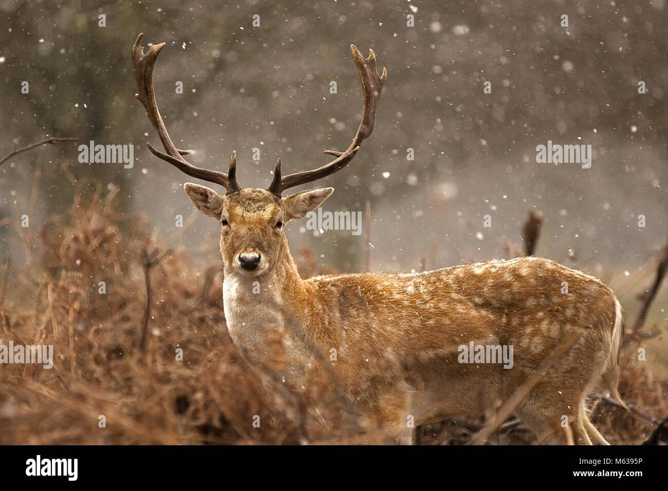 fallow deer under snow - Stock Image