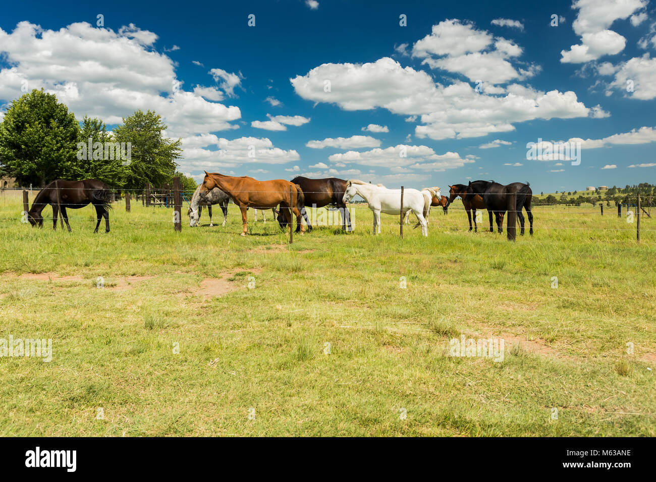 Small herd of horses grazing in a rural field behind a fence Stock Photo