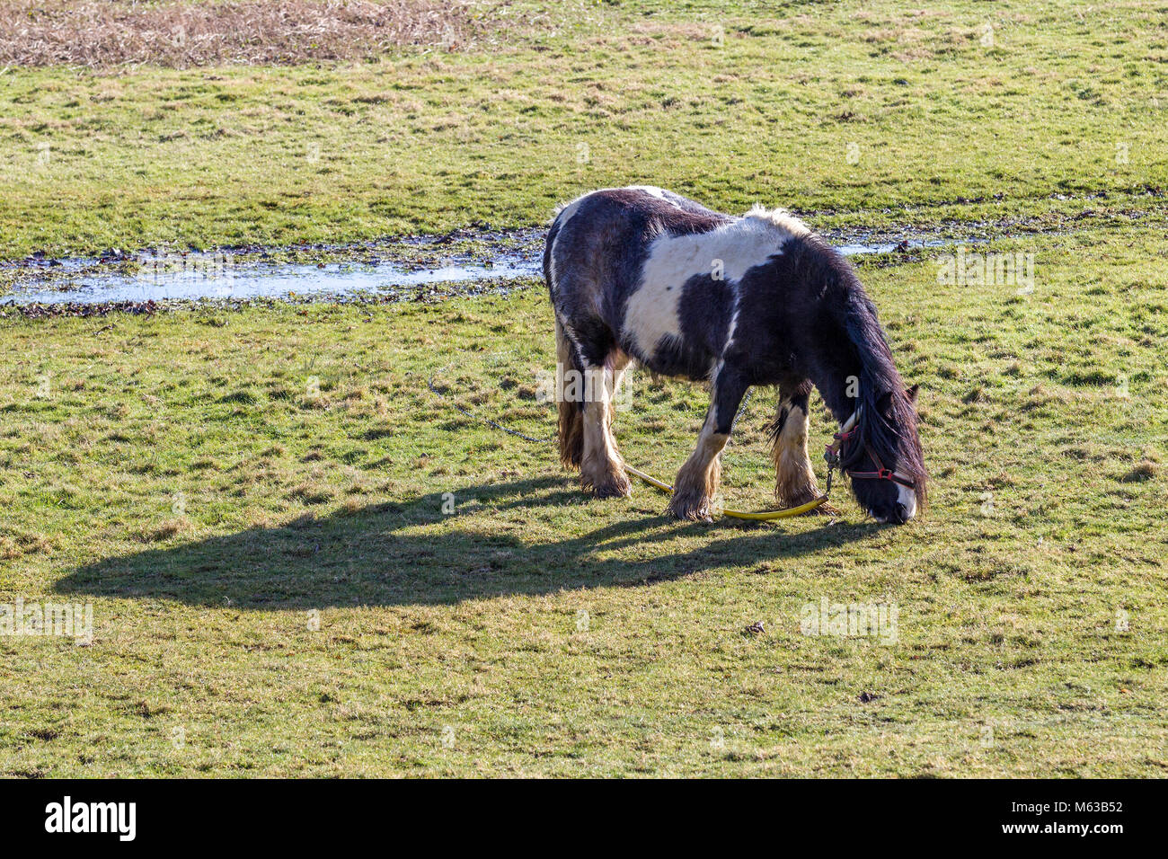Gypsy horse tethered grazing on the River Nene flood plains, Northampton. U.K. Stock Photo