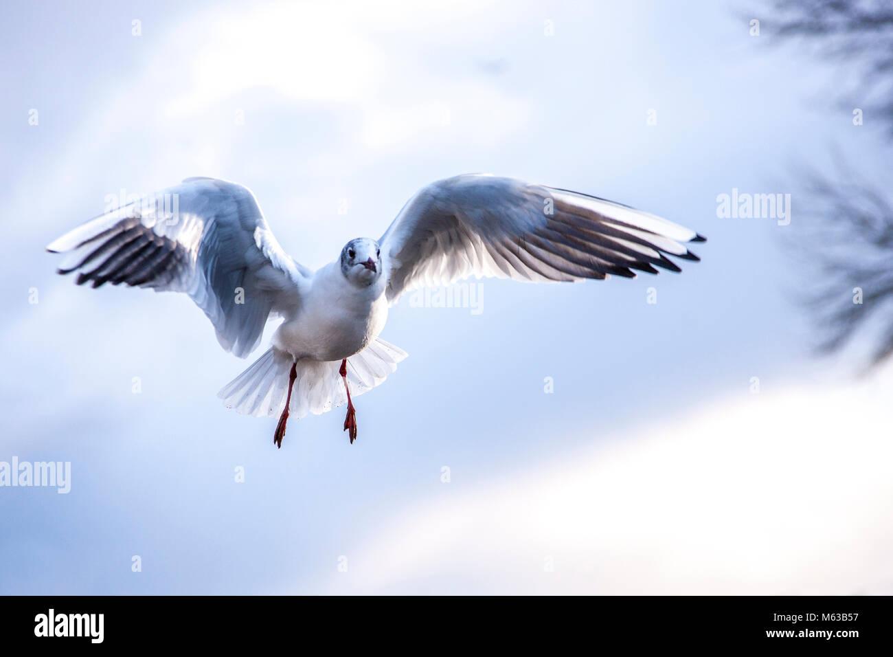 Black-headed Gull. Larus ridibundus (Laridae) in flight - Stock Image