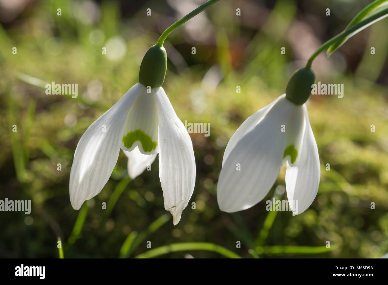 Close-up of two snowdrop (Galanthus) flowers - Stock Image