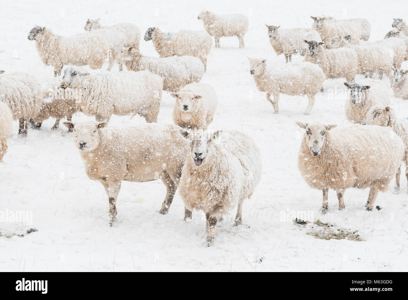Balfron, Stirlingshire, Scotland, UK. 28th Feb, 2018. UK weather - sheep hoping for food in heavy snow, Balfron, - Stock Image