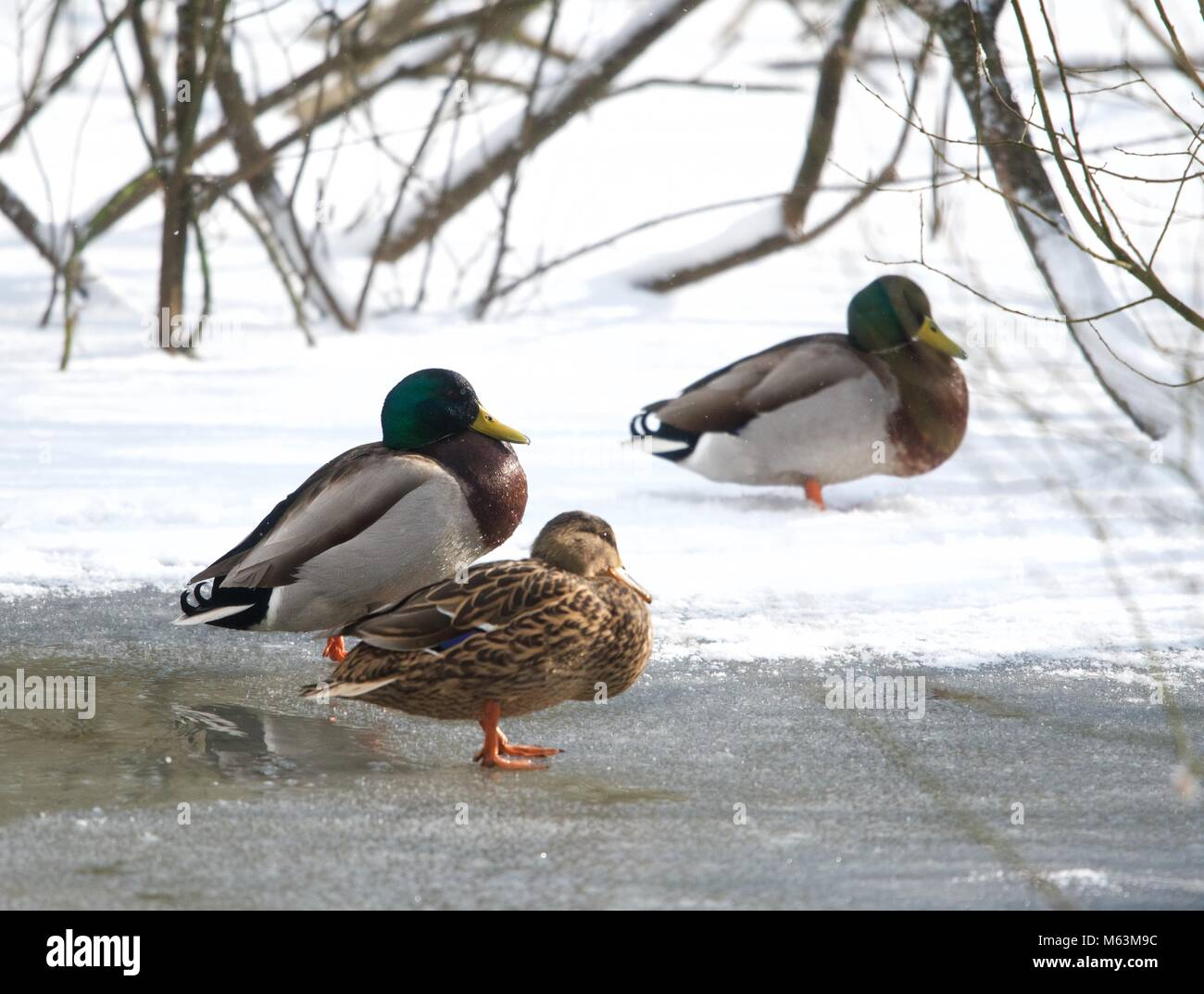 New Mills. Derbyshire. 28th February. 2018 Three mallard ducks stand on the frozen pond  in New Mills Nature Reserve - Stock Image