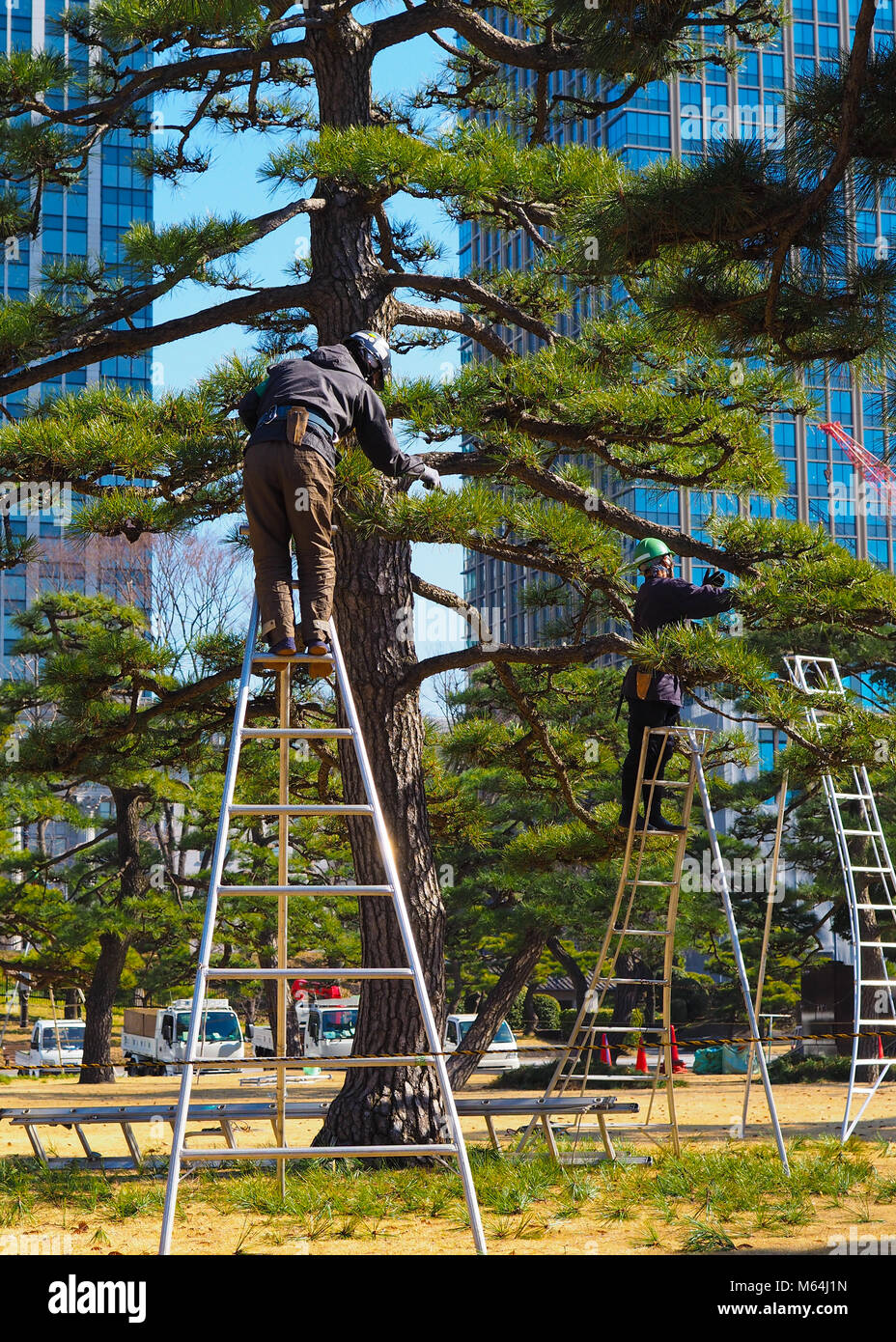 A pair of arborists, tree surgeons, at work in Tokyo Japan. A tall bonsai style Japanese Black Pine, Pinus thunbergii, - Stock Image
