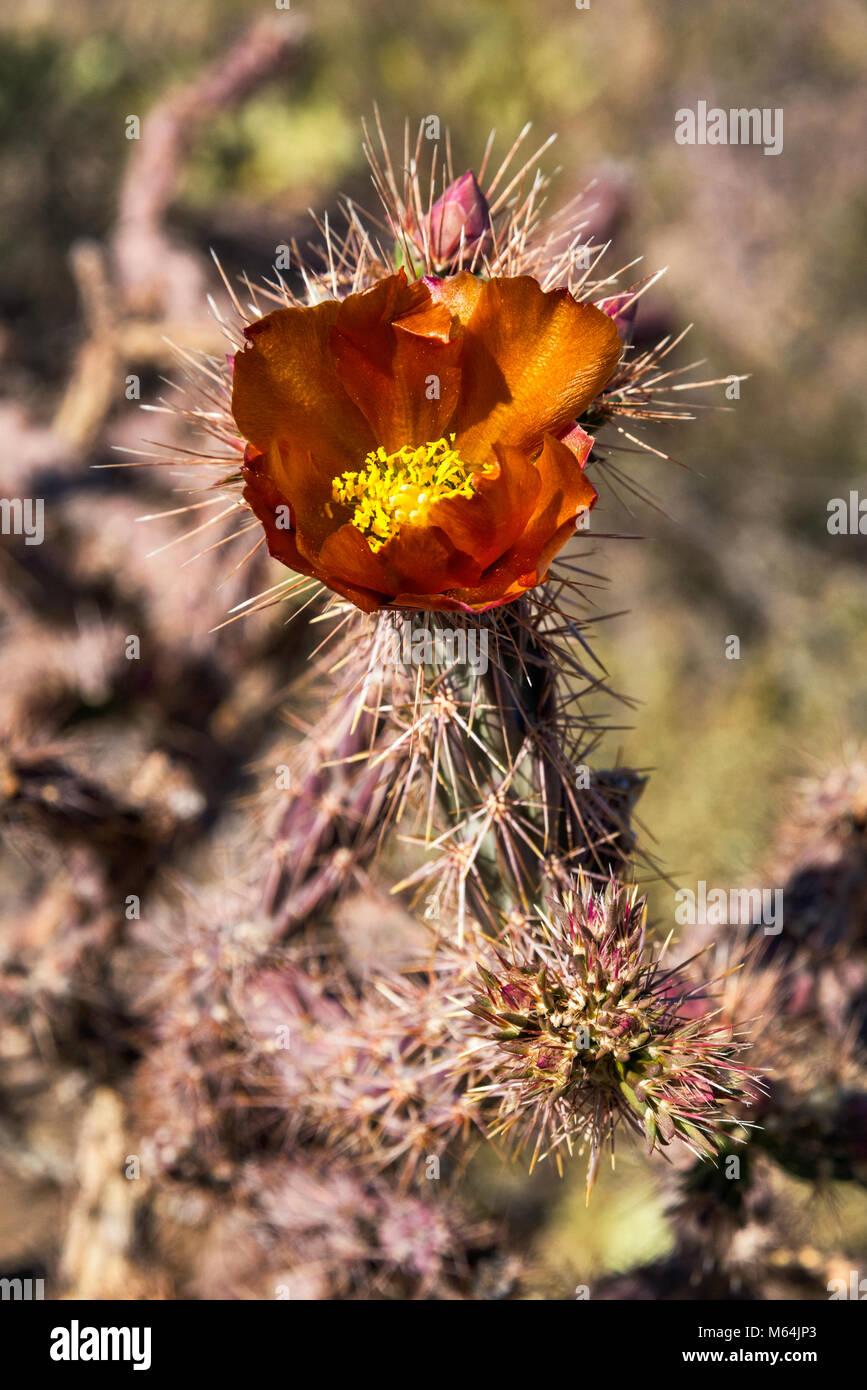 Blooming cholla cactus, Cylindropuntia, Scenic Bajada Loop Drive, Tucson Mountain District, Saguaro National Park, Stock Photo