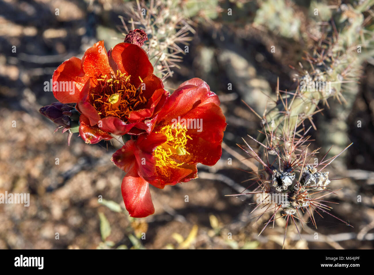 Blooming cholla cactus, Cylindropuntia, Scenic Bajada Loop Drive, Tucson Mountain District, Saguaro National Park, Stock Photo