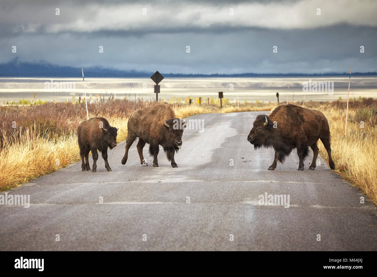 American bison family cross a road in Grand Teton National Park, Wyoming, USA. Stock Photo