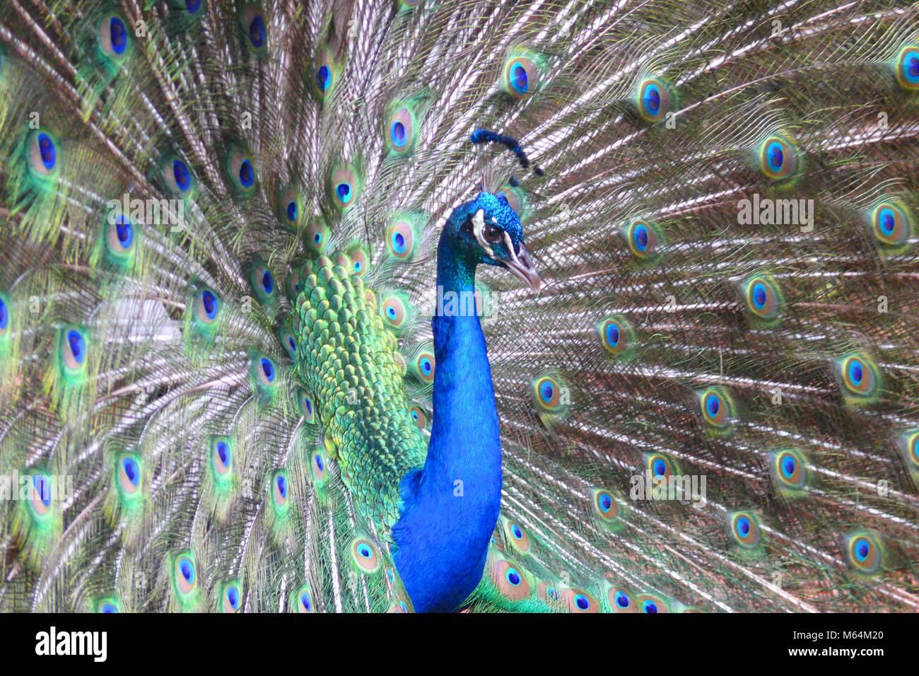 Peacock fanning its tail. Taken at Ellen Trout Zoo in Lufkin, TX - Stock Image