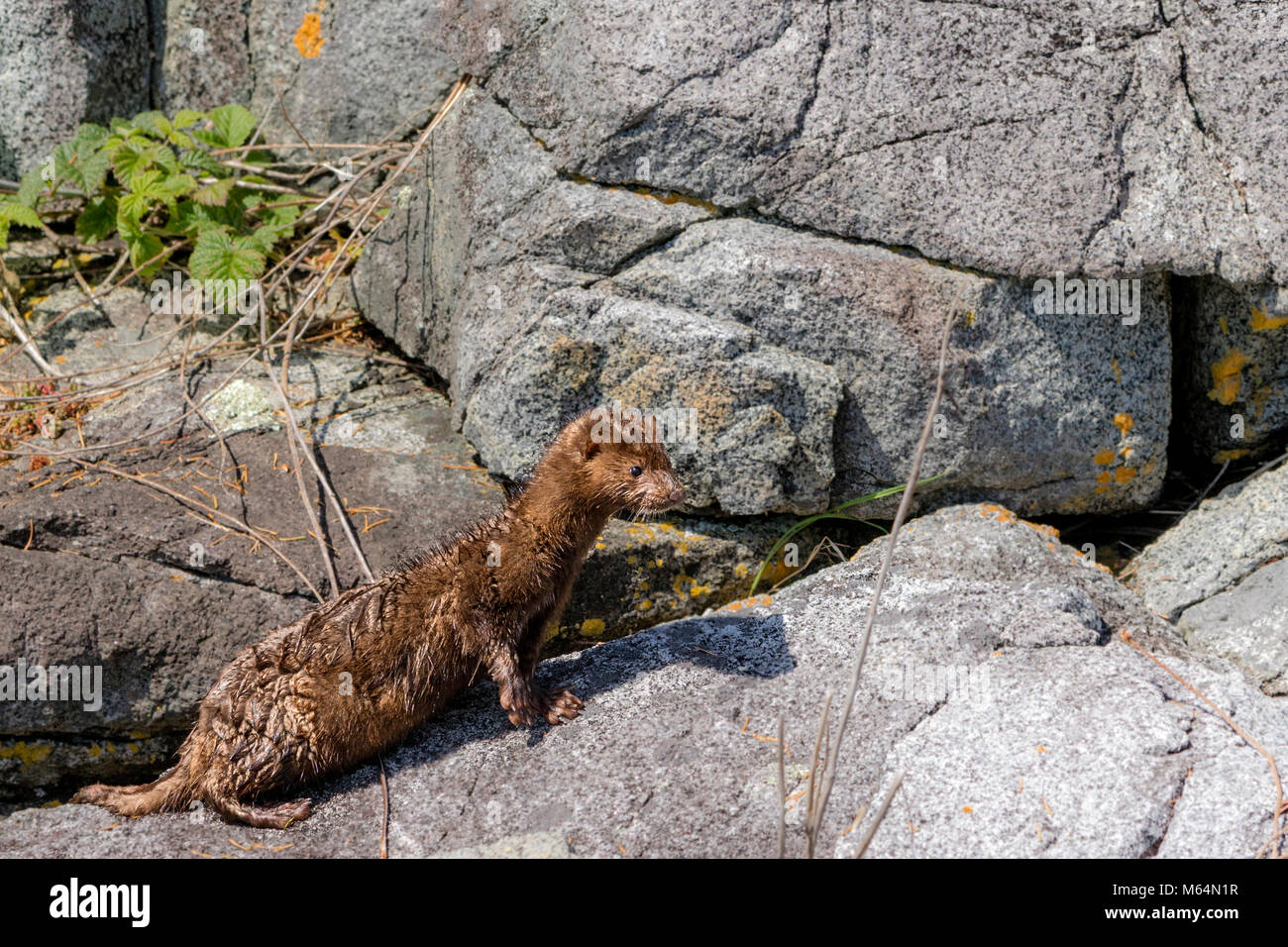 Mink along a shoreline in Broughton Archipelago Provincial Marine Park, First Nations Territory, British Columbia, Stock Photo