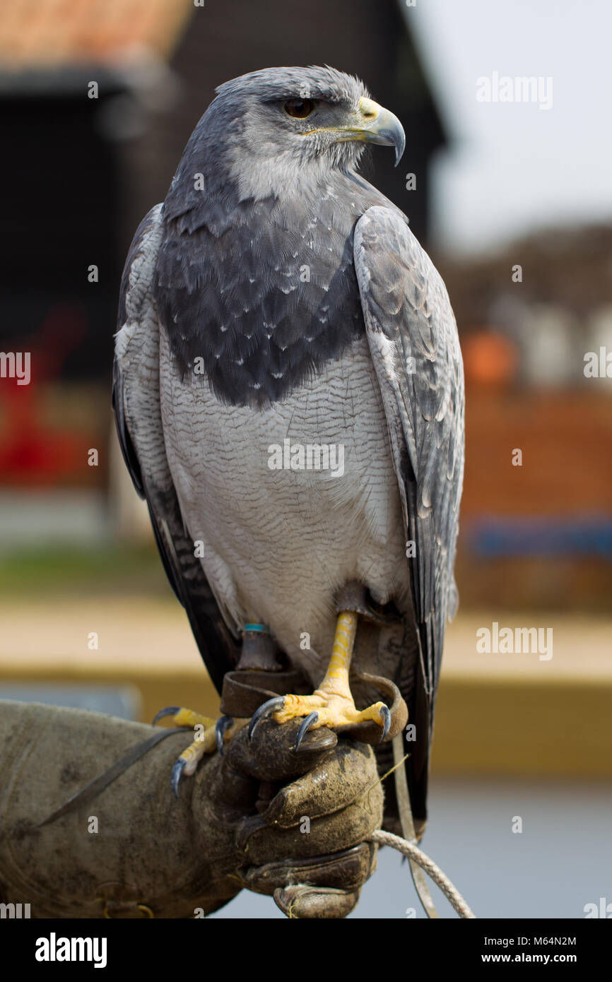 Black-chested buzzard-eagle (Geranoaetus melanoleucus) or Chilean Blue Eagle at Herrings Green Farm falconry centre - Stock Image