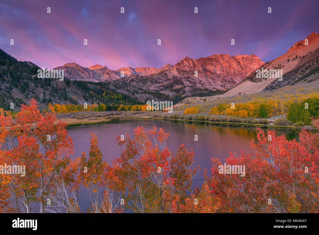 Dawn, Aspen, Populus Tremulae, Piute Crags, North Lake, Bishop Creek National Recreation Area, Inyo National Forest, - Stock Image