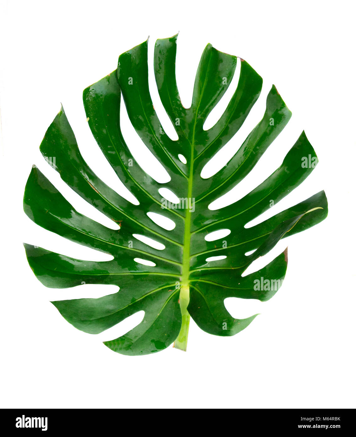 Monstera Green Tropical Leaves Isolated On White Background Stock Photo Alamy Vector hello summer holiday illustration with typography letter and tropical leaves on ocean blue background exotic plants flower sunglasses and ship steering wheel for banner flyer invitation brochure poster or greeting card. https www alamy com stock photo monstera green tropical leaves isolated on white background 175897783 html