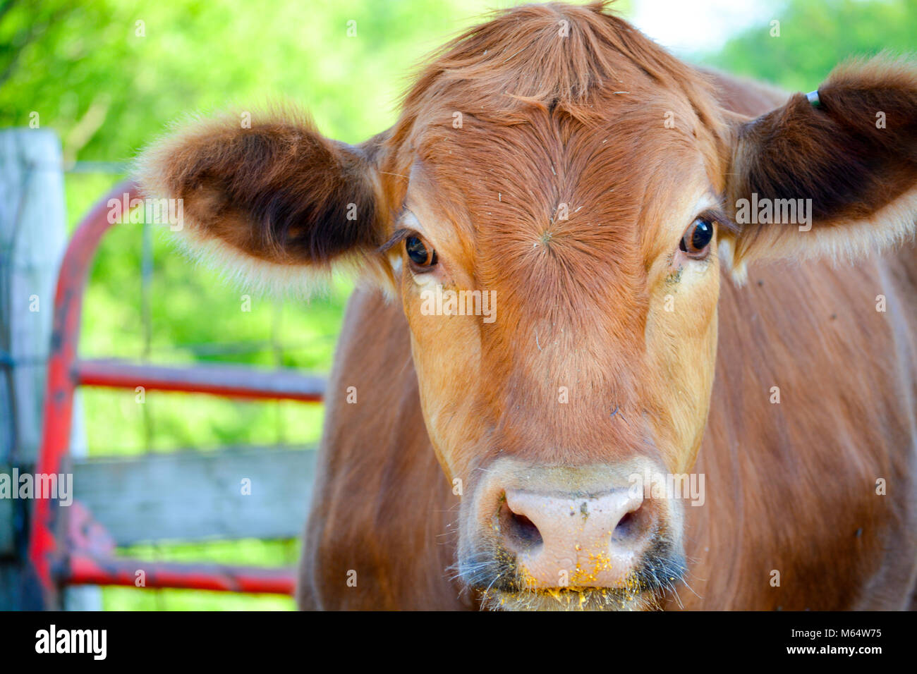 Face of a Red Heifer on a Farm in Rural Iowa - Stock Image