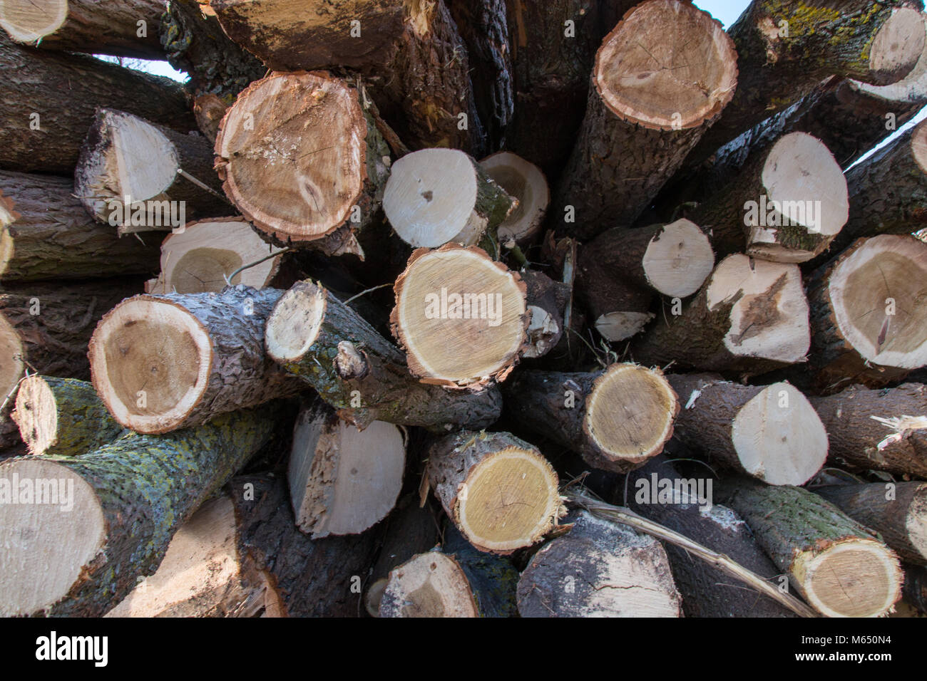 Wooden logs. Timber logging in autumn forest. Freshly cut tree logs piled up as background texture. Stock Photo