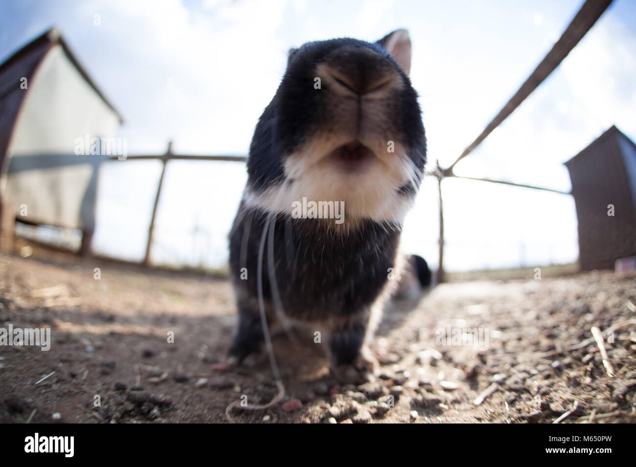 Extreme close up of black and white rabbit outdoors on farm with nose in camera - Stock Image