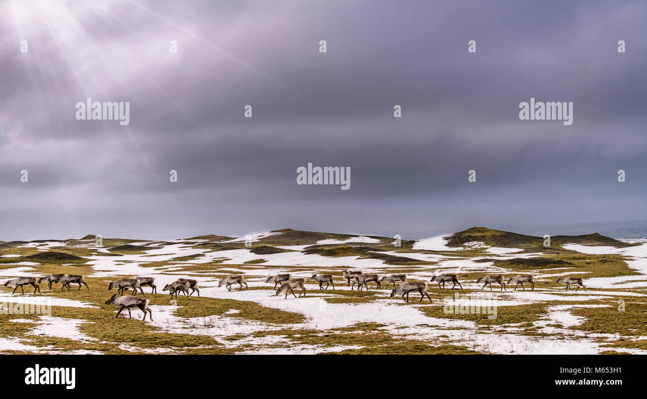 Herd of Reindeer grazing, South Coast, Iceland - Stock Image