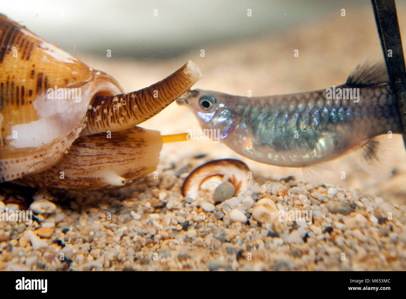 Native to reefs throughout the Indo-Pacific region, Conus striatus venom might be medically valuable because it - Stock Image