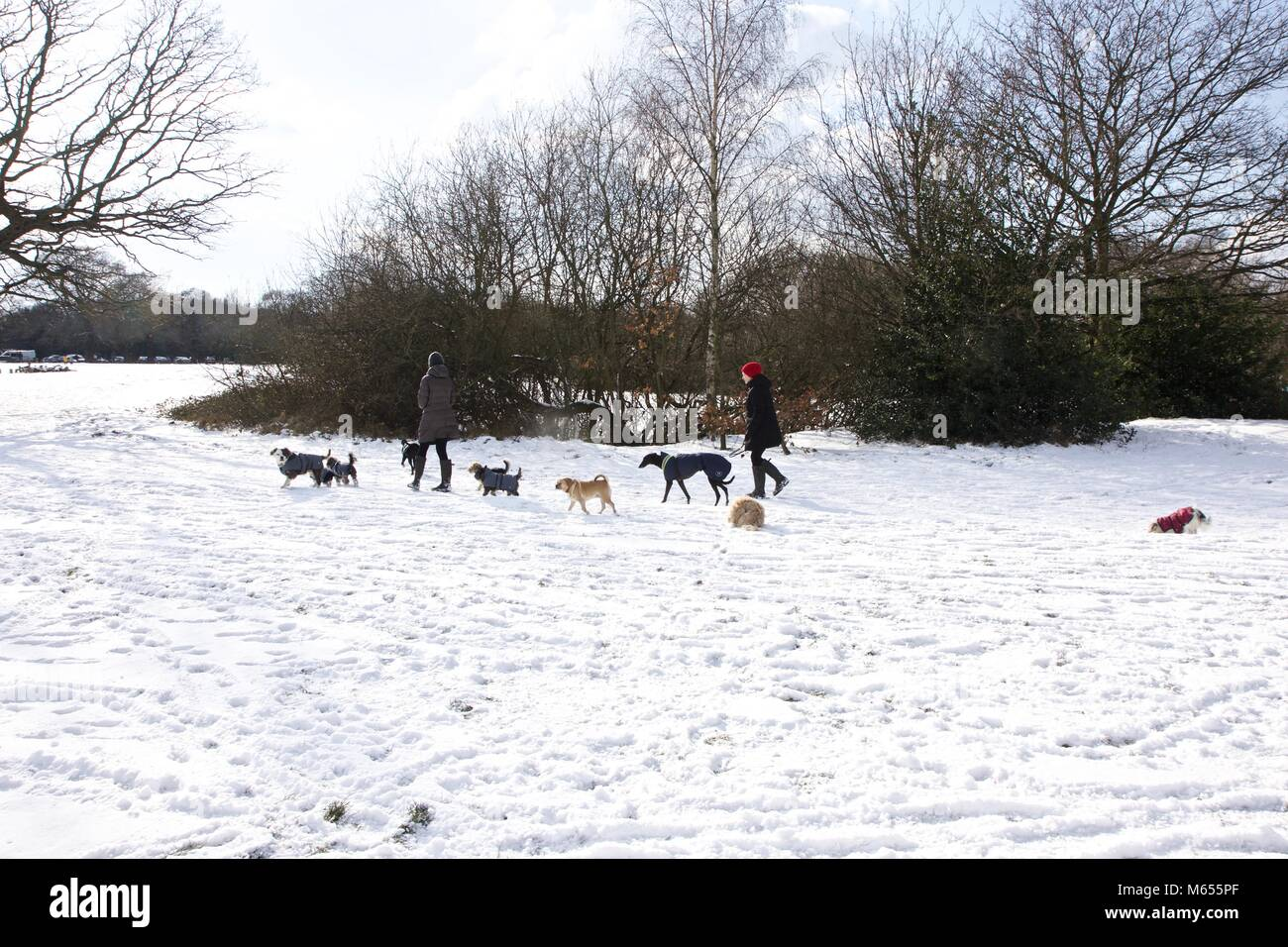 Professional dog walkers taking dogs for a walk in an East London park - Stock Image