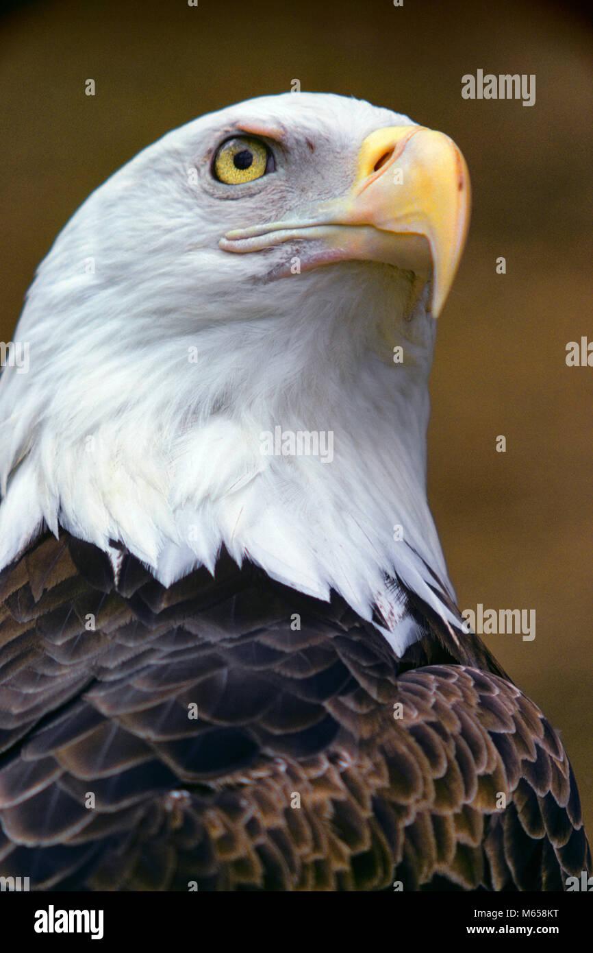 HEAD OF AMERICAN BALD EAGLE Haliaeetus leucocephalus - kb12025 RSS001 HARS FREEDOM SUCCESS STABILITY ONE ANIMAL - Stock Image