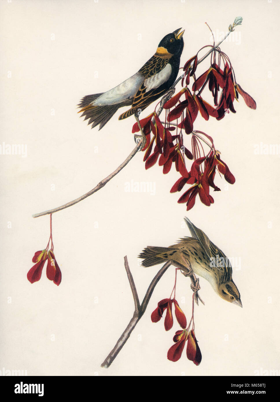 1830s DRAWING MALE FEMALE BOBOLINK SONGBIRDS (Dolichonyx oryzivorus) IN MAPLE TREE COLOR HALFTONE - kb32312 CPC001 - Stock Image