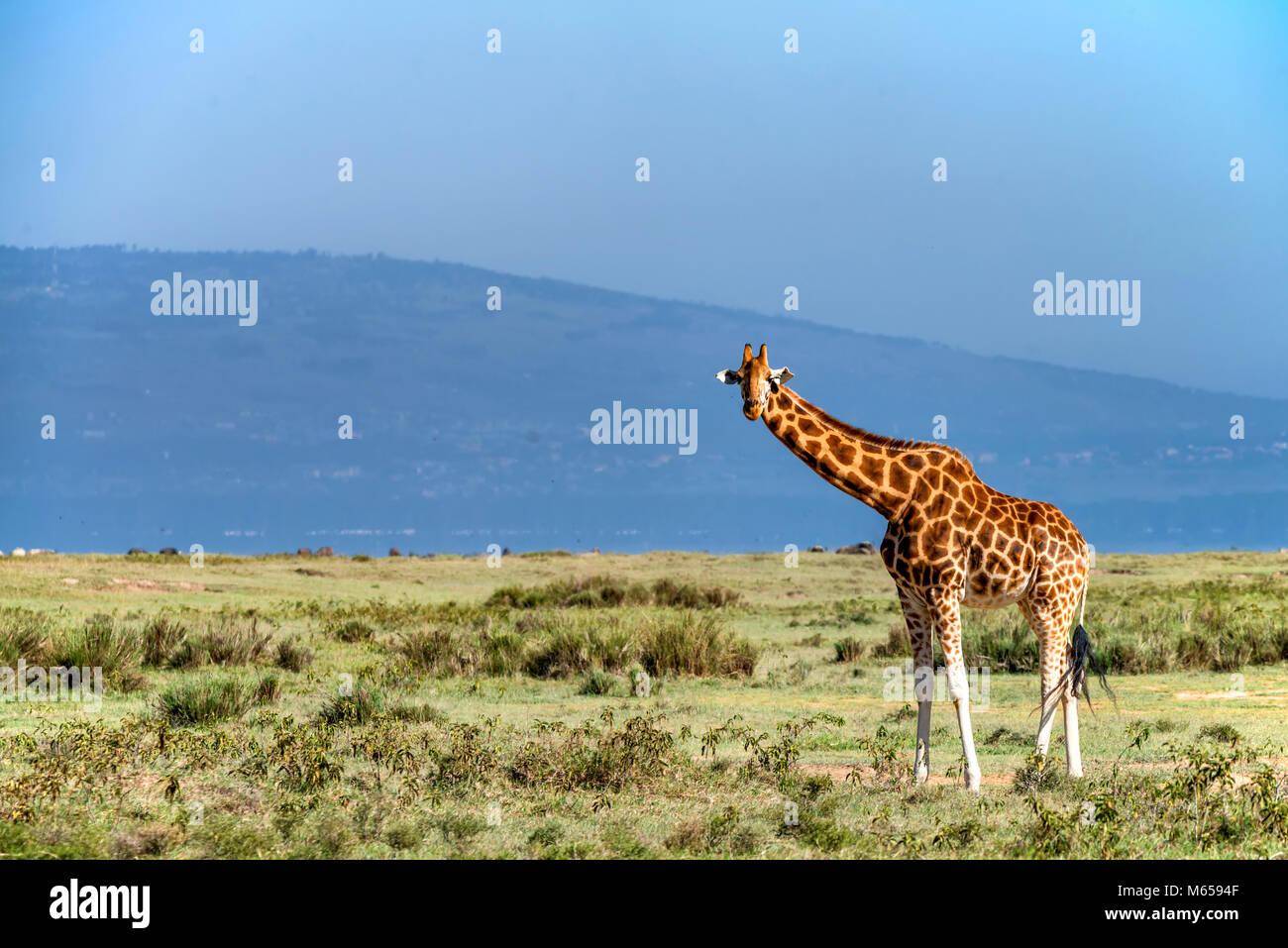 Ugandan giraffe browses in savannah - Stock Image