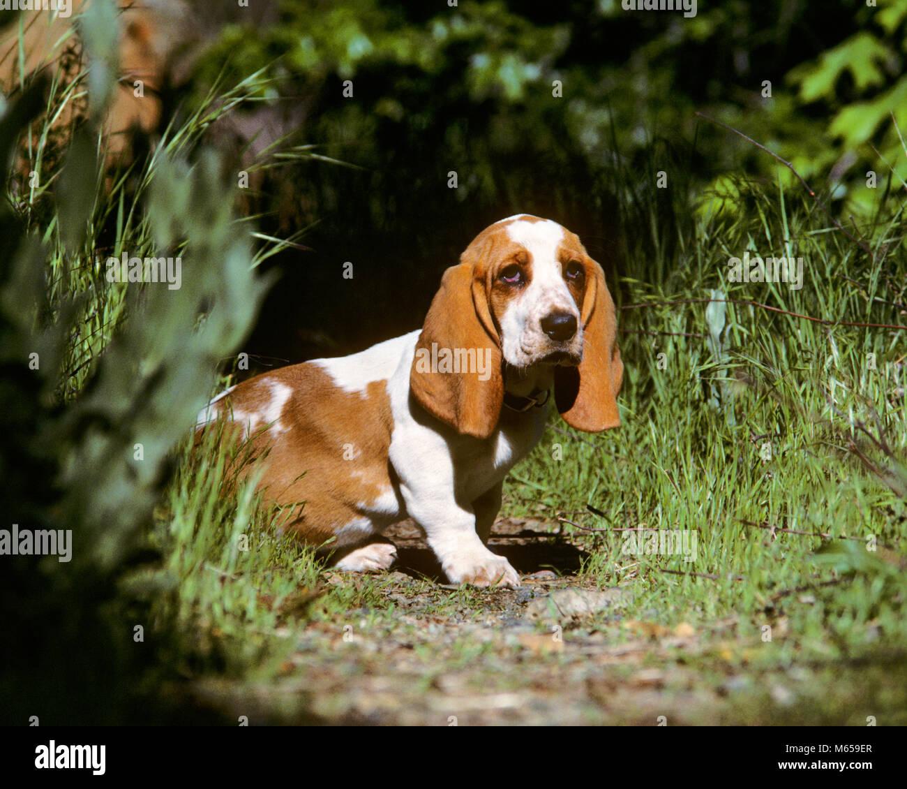 Most Inspiring Floppy Ears Brown Adorable Dog - basset-hound-puppy-in-a-garden-kd5166-wal003-hars-animals-dog-basset-M659ER  You Should Have_527455  .jpg