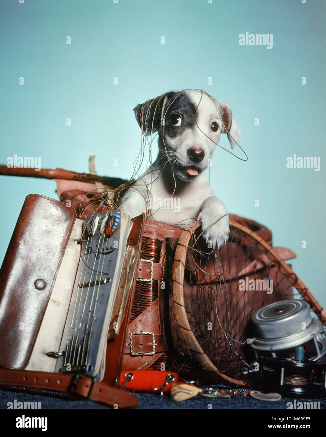 1950s FOX TERRIER PUPPY PEEKING OUT OF TANGLED MESS OF FISHING GEAR - kd58 HAR001 HARS OLD FASHIONED - Stock Image