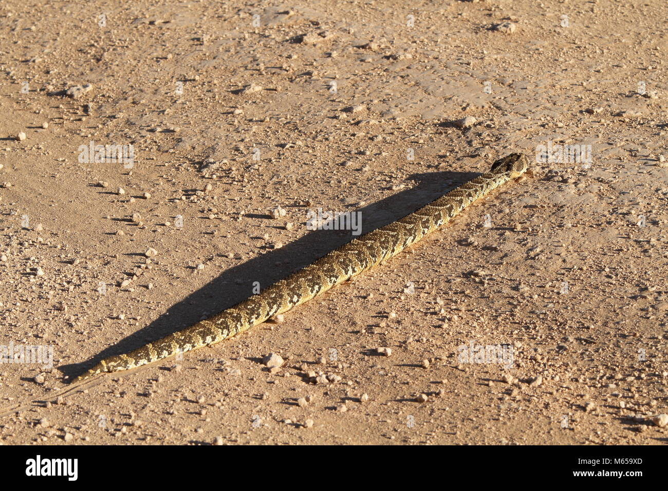 Puff Adder Crossing the Road - Stock Image