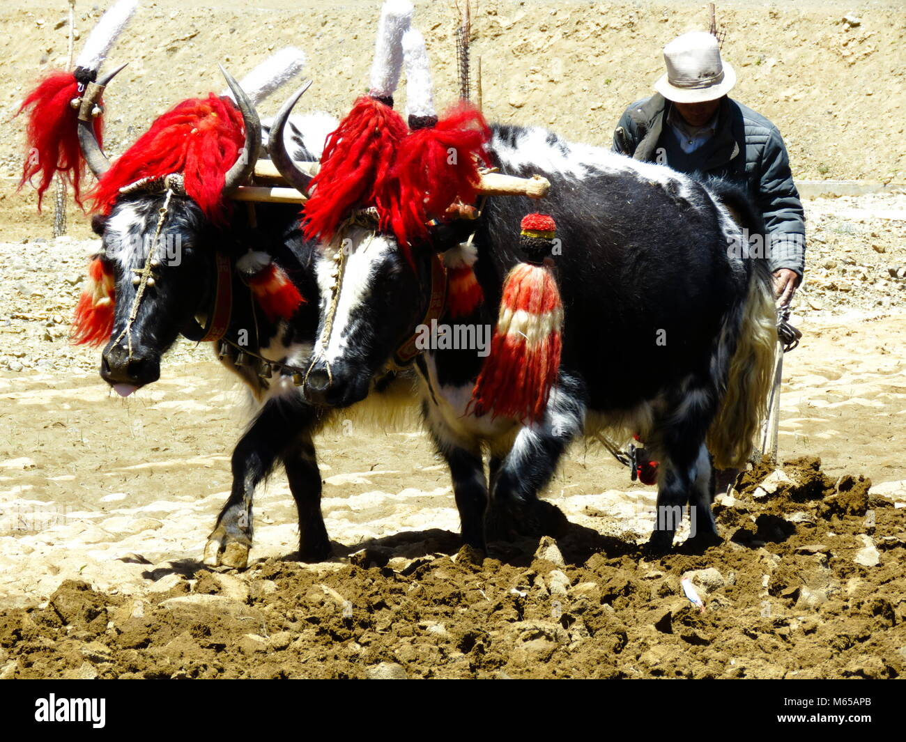 Ploughing with Yaks on the road between Shigatse and Gyantse in Tsang Province, Tibet - Stock Image