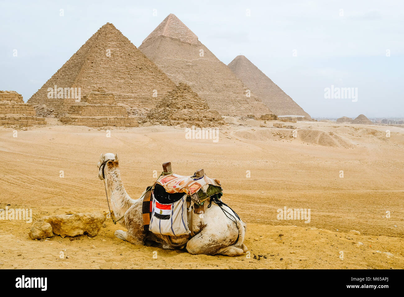 Camel sitting in front of the pyramids in Cairo - Stock Image