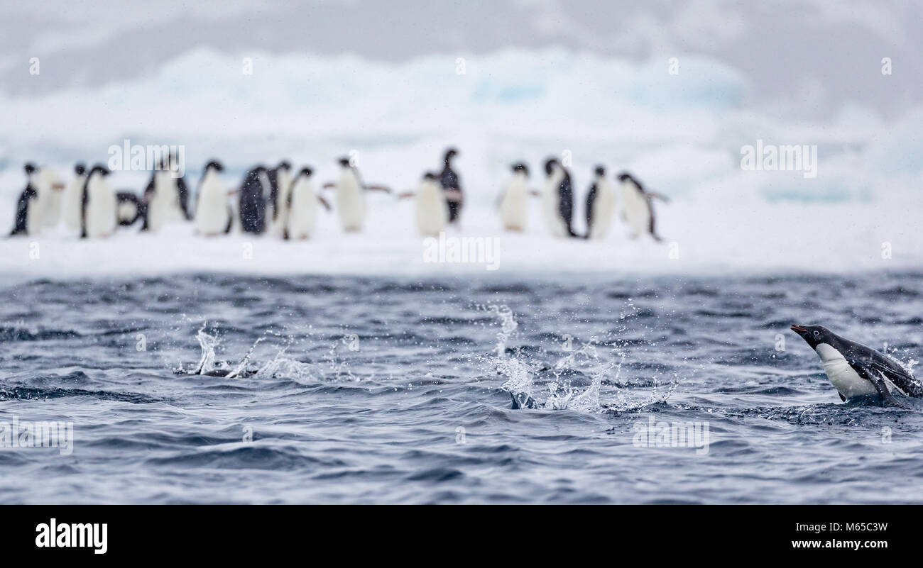 An Adelie Penguin swimming 'porpoises' past other Adelie Penguins standing on an ice flow in Hope Bay, Antarctica. - Stock Image