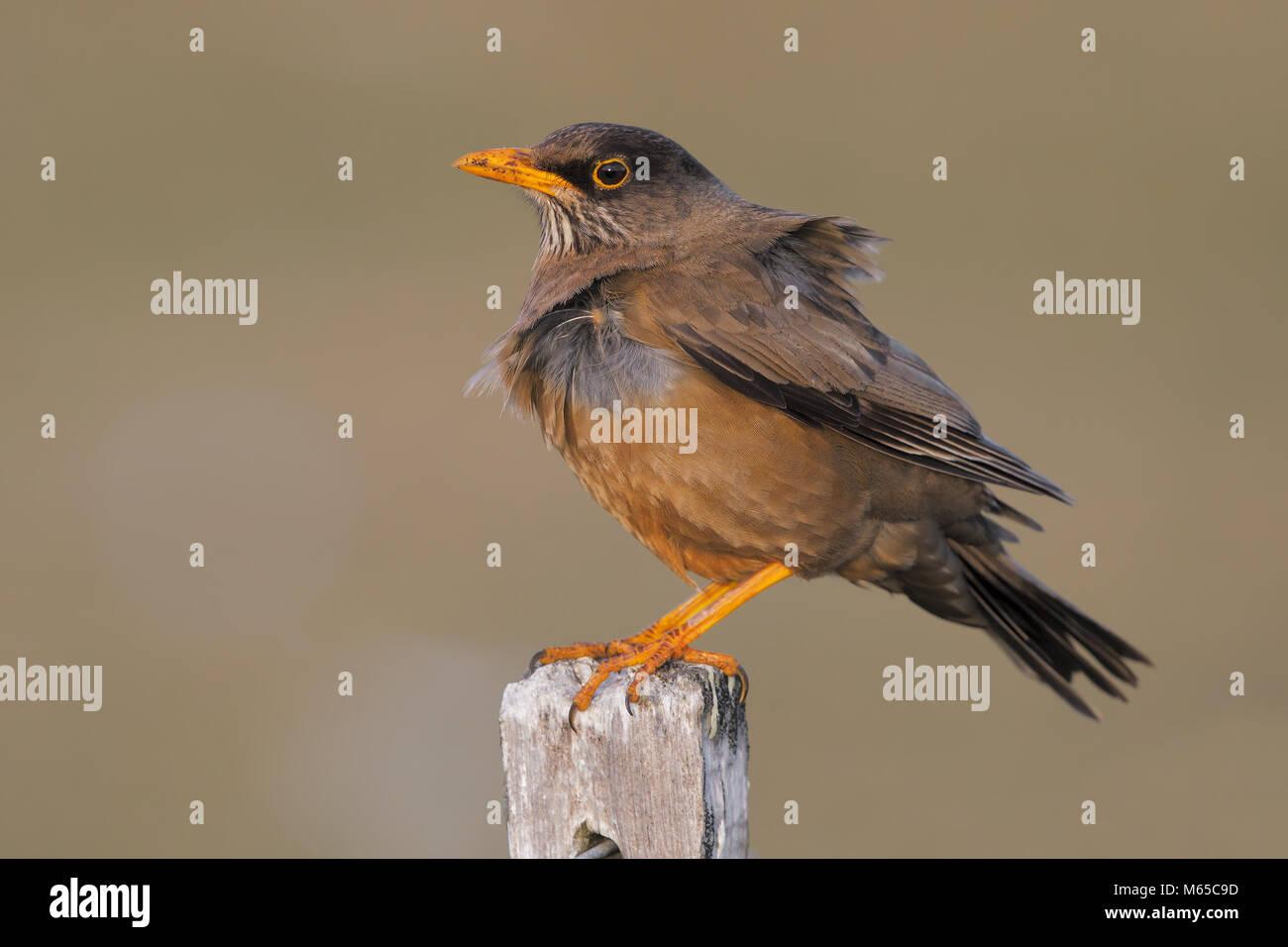 Austral thrush - Stock Image