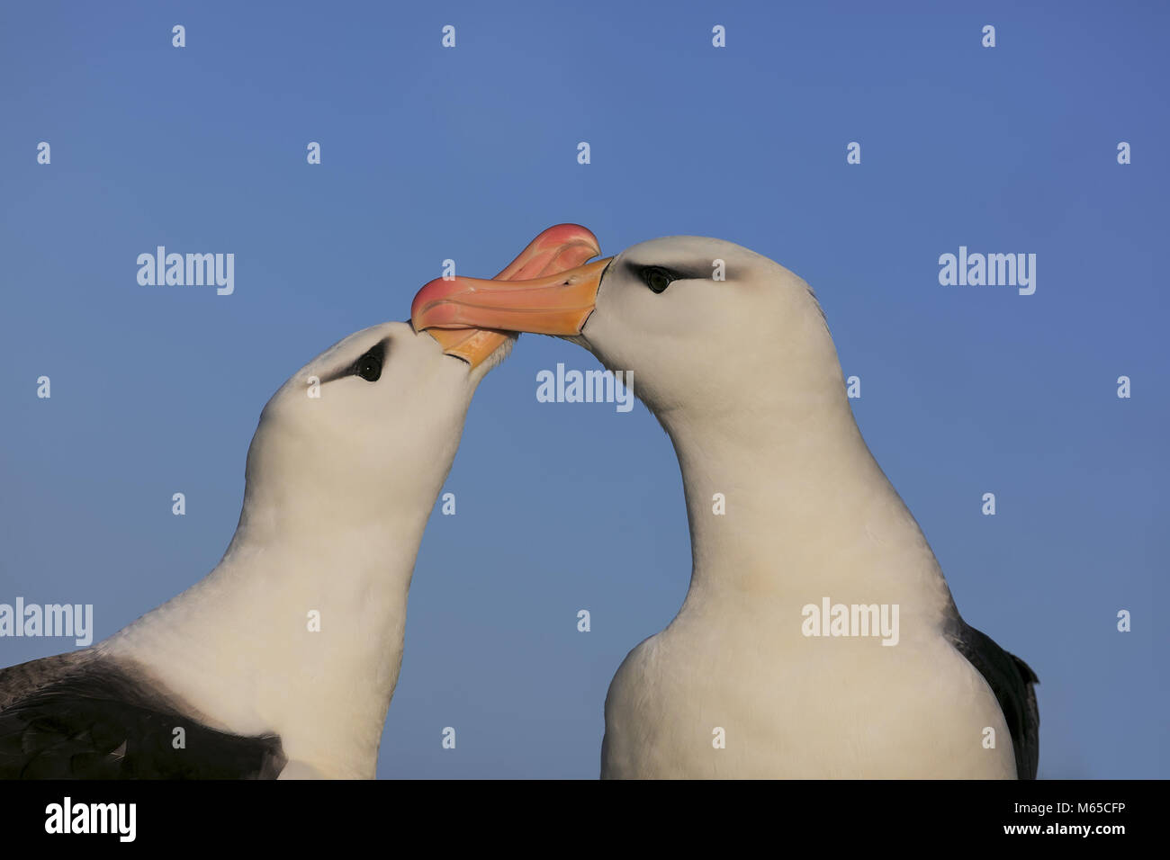 Black-browed Albatros - Stock Image