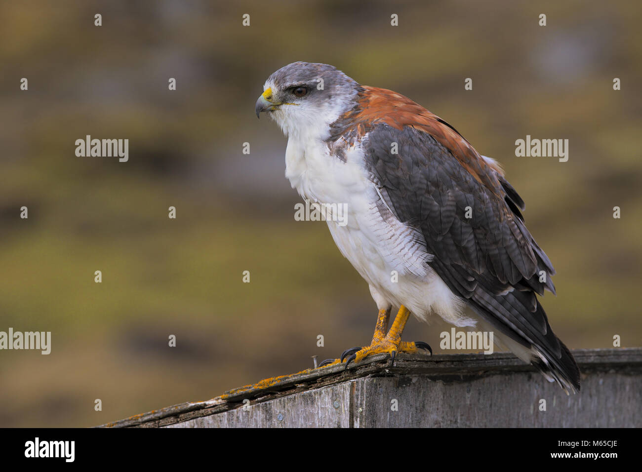Variable Hawk - Stock Image