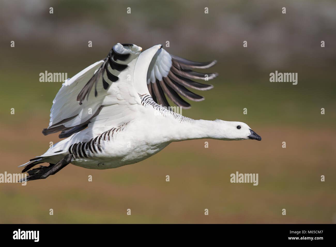 Upland goose - Stock Image